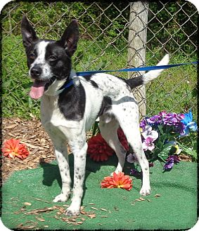 Australian Cattle Dog Mix Dog for adoption in Marietta, Georgia - RUSTY see also BUDDY- Video!