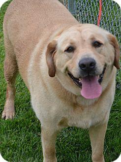 Labrador Retriever Mix Dog for adoption in Fruit Heights, Utah - Sunny