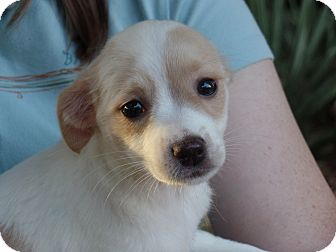 Spaniel (Unknown Type)/Collie Mix Puppy for adoption in Haggerstown, Maryland - Pixie
