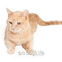 Domestic Shorthair Cat for adoption in Tempe, Arizona - Angellina