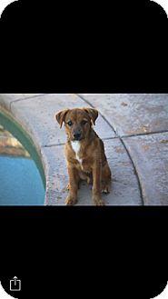 German Shepherd Dog/Terrier (Unknown Type, Medium) Mix Puppy for adoption in Winchester, California - Alvin