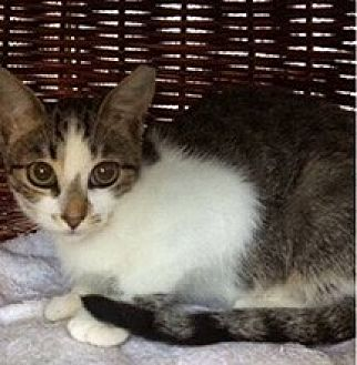 American Shorthair Cat for adoption in Metairie, Louisiana - Cuddles