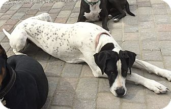 Great Dane Dog for adoption in Indianapolis, Indiana - Marley