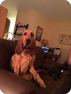 Bloodhound Dog for adoption in Fayetteville, Arkansas - Arthur