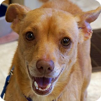 Chihuahua Mix Dog for adoption in Sprakers, New York - Curly