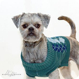 Shih Tzu Mix Dog for adoption in Naperville, Illinois - Gino