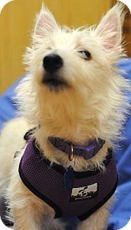 Westie, West Highland White Terrier/Poodle (Miniature) Mix Dog for adoption in Omaha, Nebraska - Violet-Pending Adoption