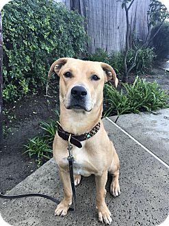 Labrador Retriever/Black Mouth Cur Mix Dog for adoption in Mission Viejo, California - Jerzee