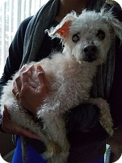 Poodle (Toy or Tea Cup) Dog for adoption in Clayton, California - Stevie