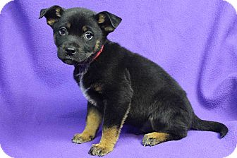 Retriever (Unknown Type) Mix Puppy for adoption in Westminster, Colorado - KENDRICK
