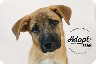 Retriever (Unknown Type)/Shepherd (Unknown Type) Mix Dog for adoption in Marietta, Georgia - Almond