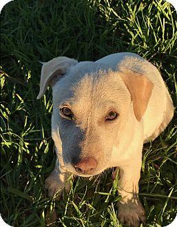 Hound (Unknown Type) Mix Puppy for adoption in Folsom, Louisiana - Dobey