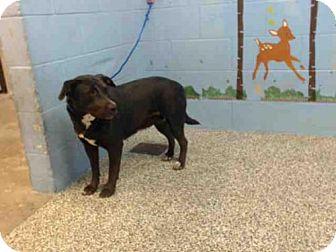 Labrador Retriever Dog for adoption in San Bernardino, California - CECE