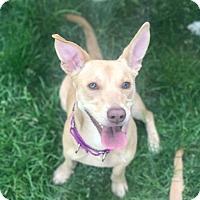 Adopt A Pet :: Cupcake - Dayton, OH