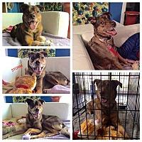 Adopt A Pet :: Storm - Baltimore, MD