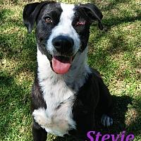 Adopt A Pet :: Stevie - El Cajon, CA