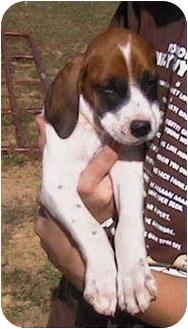 Bloodhound/Coonhound (Unknown Type) Mix Puppy for adoption in Vine Grove, Kentucky - Duke