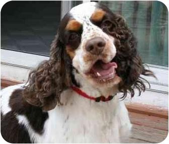 Springer Spaniel Dog for adoption in Avon, New York - Freckles
