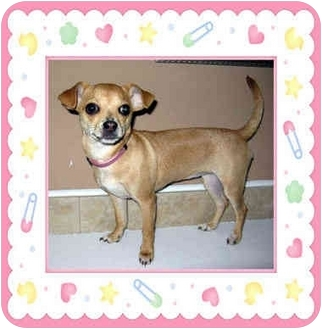 Jack Russell Terrier/Chihuahua Mix Puppy for adoption in Morehead City, North Carolina - Poppy