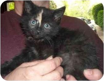 Domestic Shorthair Kitten for adoption in Newburgh, Indiana - Suki