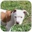 Photo 2 - American Bulldog/American Staffordshire Terrier Mix Puppy for adoption in Sacramento, California - Cameron