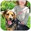 Photo 1 - Beagle/Shepherd (Unknown Type) Mix Dog for adoption in Osseo, Minnesota - Lucy
