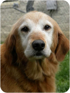 Golden Retriever Dog for adoption in Knoxville, Tennessee - Katie