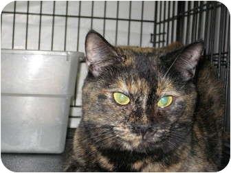 Domestic Shorthair Cat for adoption in Pinehurst, North Carolina - Ariel