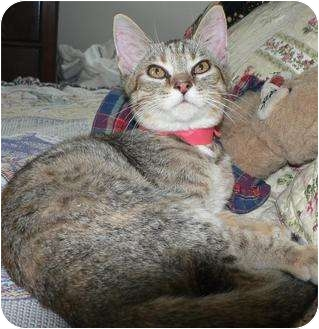 Domestic Shorthair Cat for adoption in Hendersonville, Tennessee - Gabby
