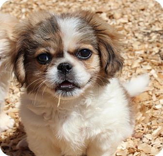 Pekingese Mix Puppy for adoption in Portland, Maine - Peter