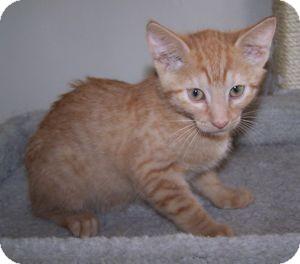 Domestic Shorthair Kitten for adoption in Colorado Springs, Colorado - K-Guffey1-Kennedy