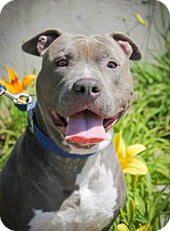 American Pit Bull Terrier Dog for adoption in Sacramento, California - Aries