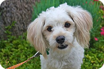 Maltese/Poodle (Miniature) Mix Dog for adoption in Los Angeles, California - Lancelot