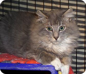 Maine Coon Cat for adoption in East Brunswick, New Jersey - Vinny