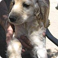 Adopt A Pet :: Sandy - Chandler, AZ