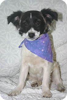 Pomeranian/Terrier (Unknown Type, Small) Mix Dog for adoption in Tracy, California - Suze ADOPTED!!