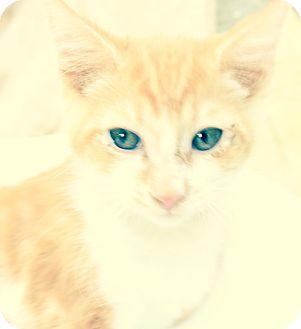 Domestic Shorthair Kitten for adoption in Santa Monica, California - Jayden
