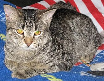 Domestic Shorthair Cat for adoption in Stanhope, New Jersey - Tiger Lil