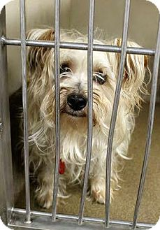 Yorkie, Yorkshire Terrier Dog for adoption in Huntley, Illinois - Scruffy