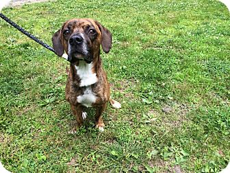 Beagle/Boxer Mix Dog for adoption in New Castle, Pennsylvania - Richie