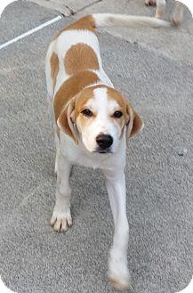 Labrador Retriever/Hound (Unknown Type) Mix Puppy for adoption in Walden, New York - Frieda