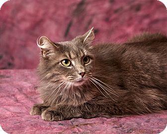 Domestic Longhair Cat for adoption in Harrisonburg, Virginia - Muffin