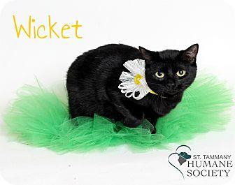 Domestic Shorthair Cat for adoption in Covington, Louisiana - Wicket