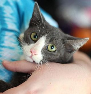 Domestic Shorthair Cat for adoption in Raleigh, North Carolina - Cooper K