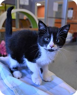 Domestic Shorthair Kitten for adoption in Michigan City, Indiana - Taco