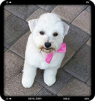 Havanese/Maltese Mix Dog for adoption in San Diego, California - Paisley
