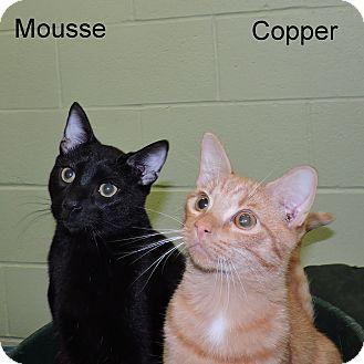 Domestic Shorthair Kitten for adoption in Slidell, Louisiana - Mousse