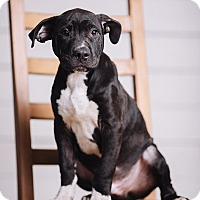 Adopt A Pet :: Wowser - Portland, OR