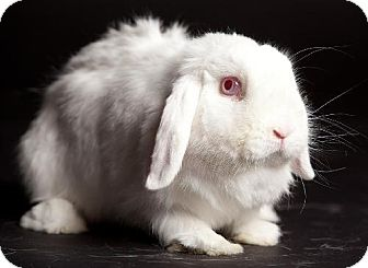 Lop-Eared for adoption in Kingston, Ontario - Rose