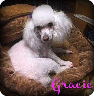 Toy Poodle Puppy for adoption in Phoenix, Arizona - GRACIE